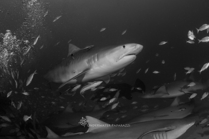 Shark Week – Tiger Shark