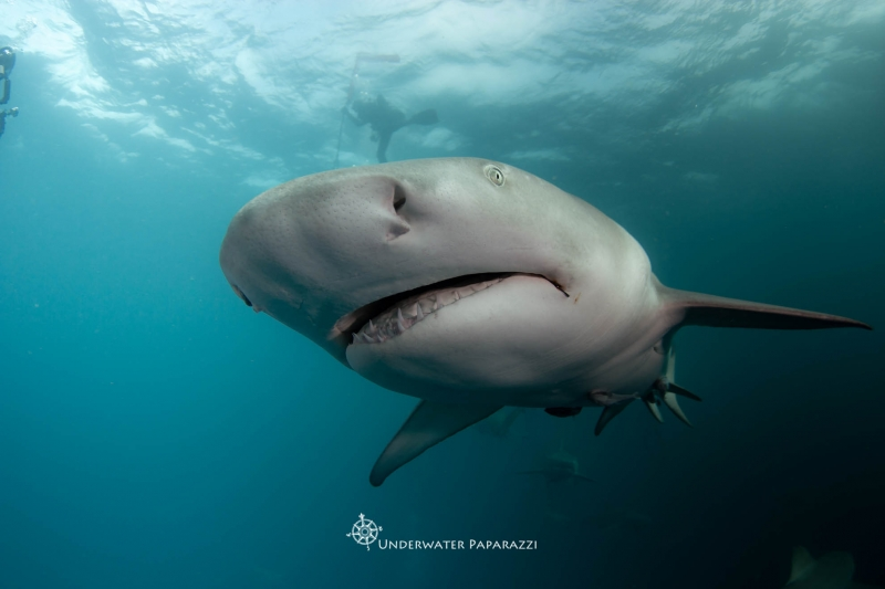 Shark Week – Lemon Shark