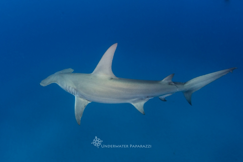 Shark Week – Hammerhead Shark